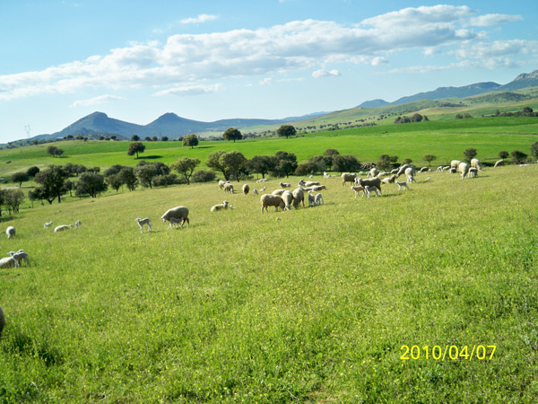 Sheep farming in the Dehesa de Castilseras.